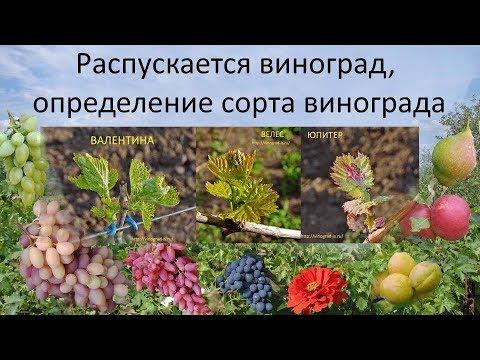 Распускается виноград, определение сорта винограда