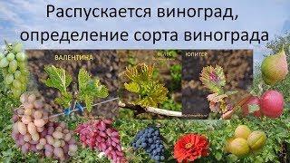 Распускается виноград, определение сорта винограда(Это видео о том, когда распускаются почки на кустах винограда и как можно хотя бы ориентировочно определить..., 2016-04-24T19:06:46.000Z)