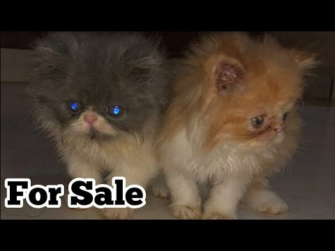 Persian Cats Pure Punch Face Persian Cat Kitten For Sale pet care