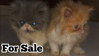 Persian Cats|Pure Punch Face Persian Cat Kitten For Sale|pet care