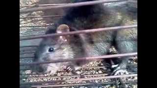 biggest rat