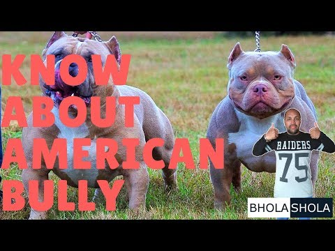 Dog Breed - Know About American Bully - Bhola Shola