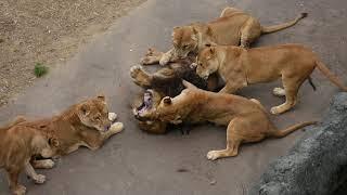 多摩動物公園 メスライオンたちに襲われるオスライオン