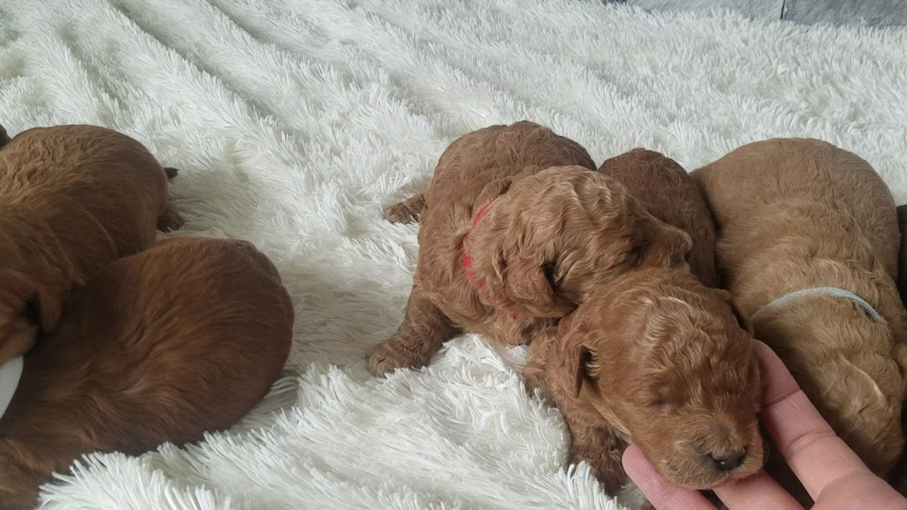 Teacup Goldendoodle Full Grown - Goldenacresdogs com