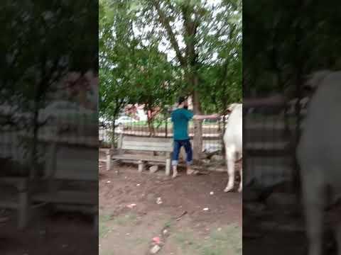 Eid Cow 2019