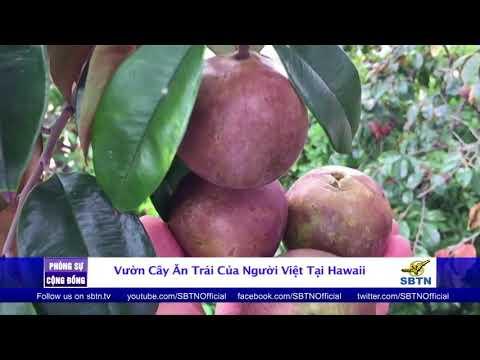 PHÓNG SỰ CỘNG ĐỒNG: Vườn cây ăn trái của người Việt tại Hawaii