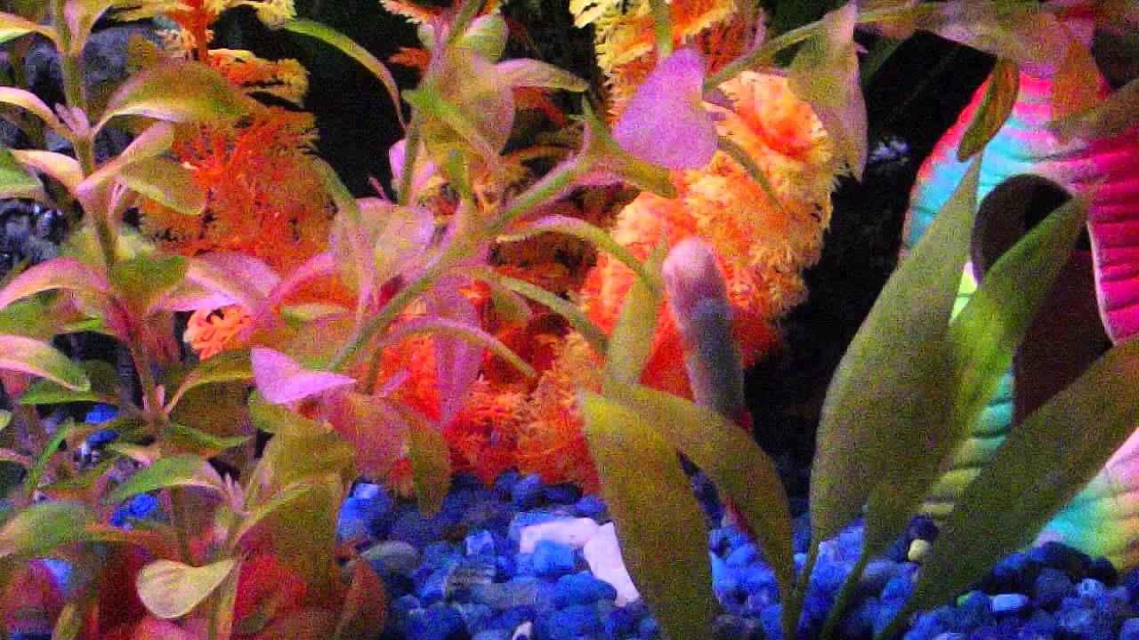 Freshwater aquarium fish with red eyes - An Albino Rainbow Shark Red Eyes Included