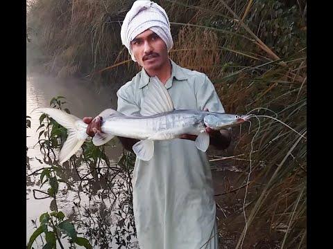 Catfish Hunting Freshwater Singara Fish Hunting_Khaga Fishing In Pakistan_Best Fishing Video 2019.
