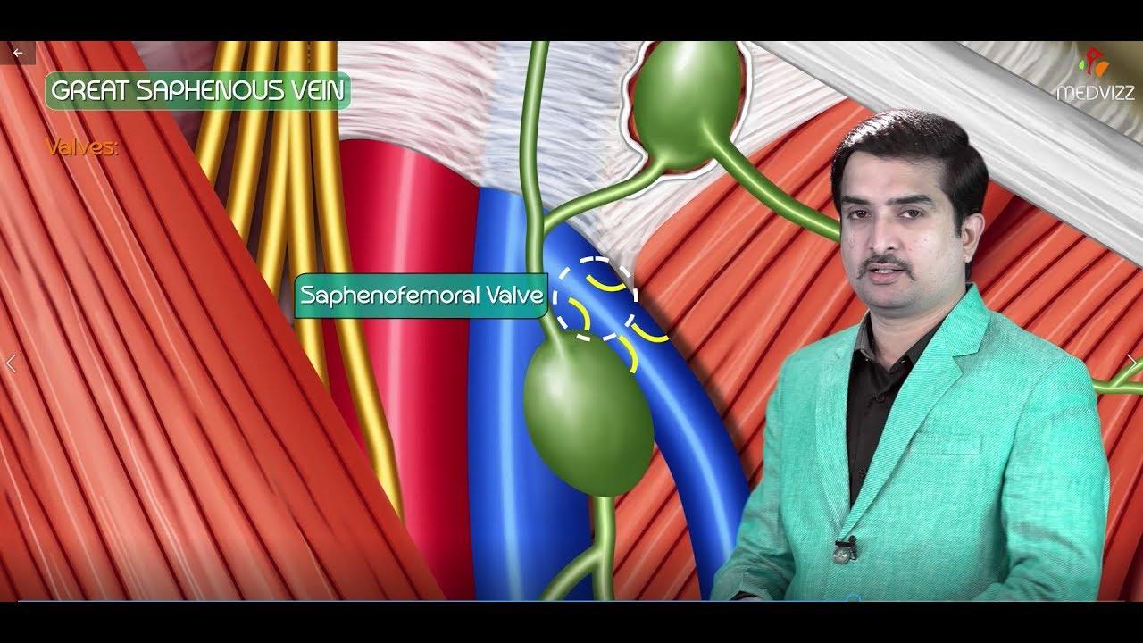 Great saphenous vein - Animated Gross anatomy of lower limb ...