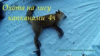 Охота на лису капканами. Есть результат. Fox hunting