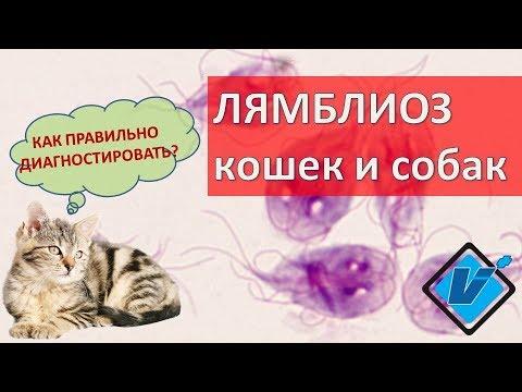 Лямблиоз: признаки и симптомы лямблий в желчном пузыре