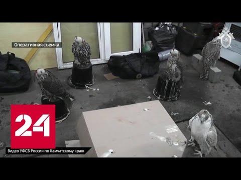 На Камчатке задержана партия ценных кречетов - Россия 24