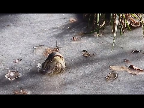 Big Mike - Alligators Frozen in Ice!