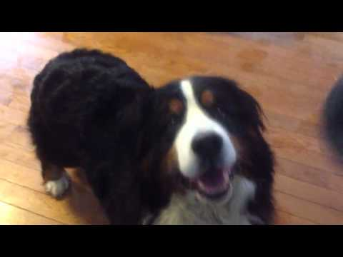 Bernese Mountain Dog Learns to Catch Popcorn