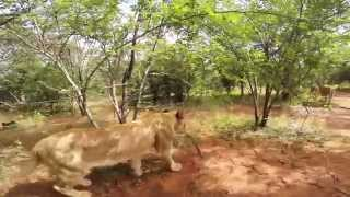 Volunteering with lions and cheetahs in Africa