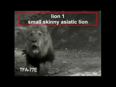 lion vs tiger 1946 gir forest