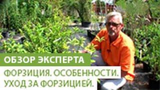 Форзиция. Особенности форзиции. Уход за форзицией.(В этом видео, наш садовый эксперт расскажет Вам о форзиции, ее особенностях, и о том как за ней правильно..., 2014-06-18T09:19:32.000Z)