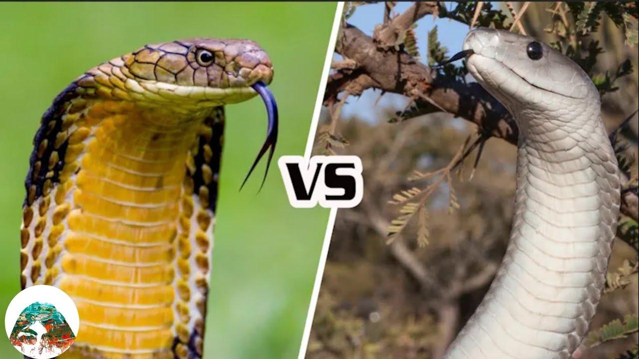งูจงอาง VS งูแบล็กแมมบา ใครจะเป็นฝ่ายชนะ?