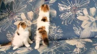 Питомник шотландских кошек Миранис!