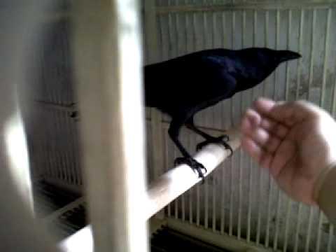 burung gagak ku hebat