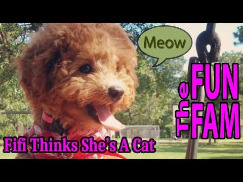 Fifi Thinks She's a Kitty Cat - Our Red Poodle
