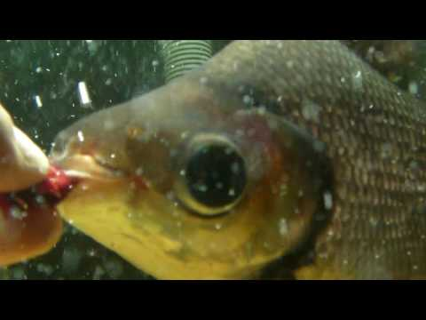 Underwater HD video of Charming Phoenix (S. Prochilodus) feeding by hand! Xacti VPC-CA9 HD