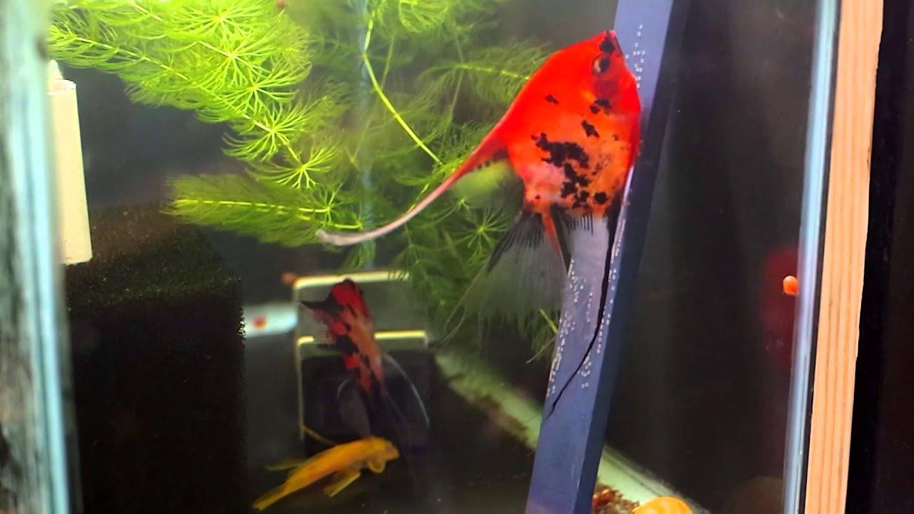 Angelfish koi breeding pair 1053 youtube for Raising koi fish