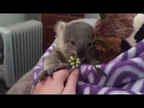 koala joey's most adorable home video of all time