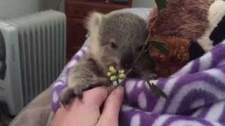 Baixar - Koala Joey S Most Adorable Home Video Of All Time Grátis
