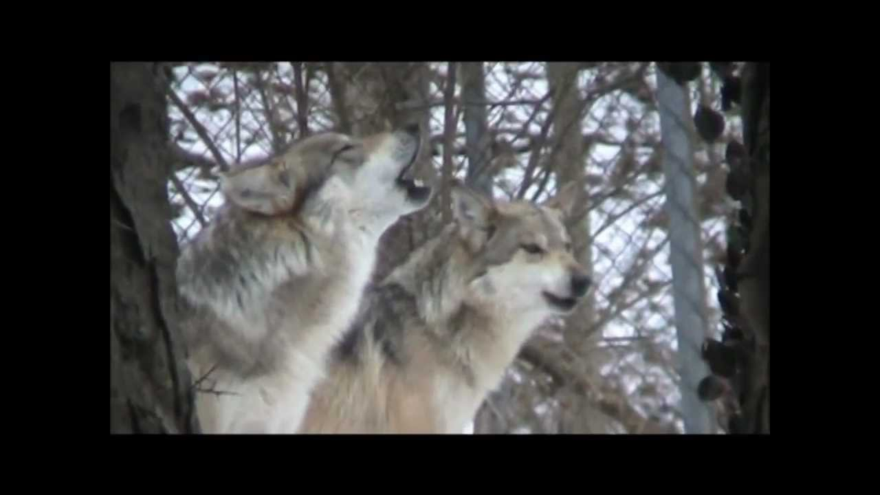 grey wolves howling youtube grey wolves howling youtube biocorpaavc