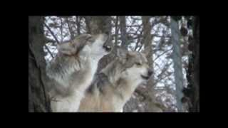 ☆❥¸¸.☆☆❥ Grey wolves howling