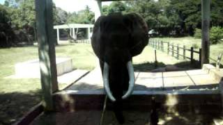 """TIMBU"", the majestic African Elephant of Mysore Zoo.(Monday 2-11-2009)IMGP1811"