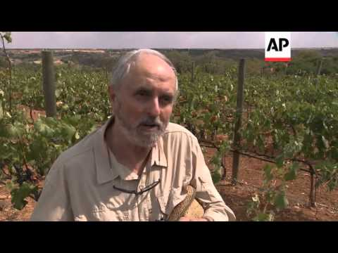 Poor grape harvest in Madrid's nascent wine industry
