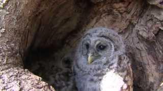 Barred Owls make nest in Kansas City tree