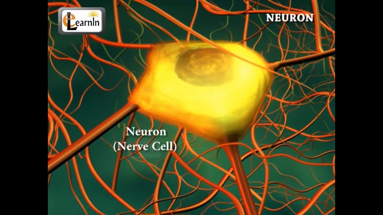 Neurons or nerve cells - Structure function and types of neurons ...