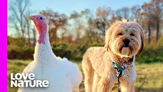 Rescued Dog And Turkey Receiving A Second Chance At Life | Oddest Animal Friendships