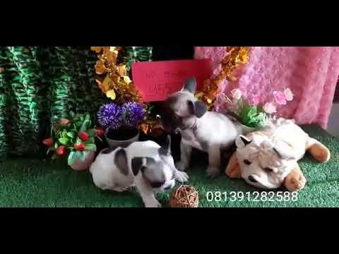 French Bulldog Jual Anjing French Bulldog Anjing Ras French Bulldog Indonesia Youtube