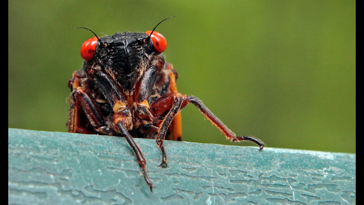 Download Georgia county begs people to stop calling 911 about cicadas | WSB-TV
