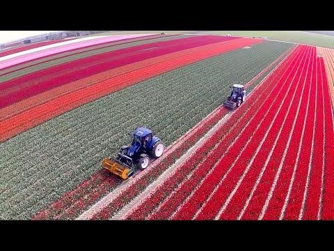 Topping Tulips / Tulpen koppen   2x New Holland T6.160 Blue Power   Maliepaard Bloembollen