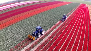 Topping Tulips / Tulpen koppen | 2x New Holland T6.160 Blue Power | Maliepaard Bloembollen