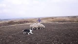 阿蘇であったシープ体験。はじめて見た羊に、怖がるどころかハーディン...