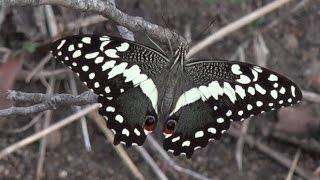 we-celebrate-the-beautiful-butterflies-of-africa-this-world-butterfly-day-2017-safarilive