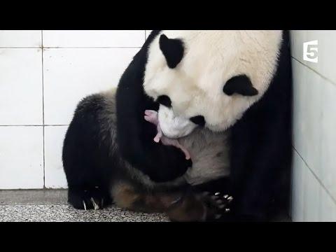 Kelahiran Panda