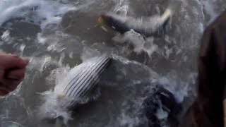 Mouse Striper Bass Fishing Hopkins 150 SHORTY & Trusty Teaser