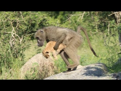 Вот для чего бабуины крадут маленьких львят?!