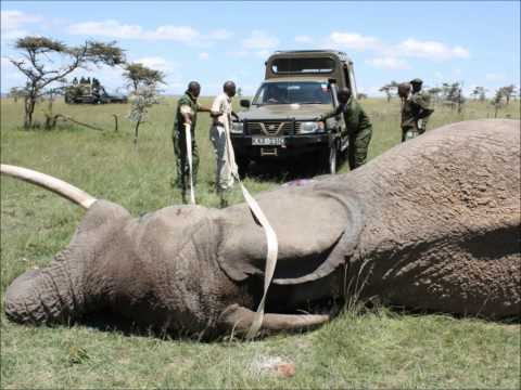 Edited (Shorter)  Version of  Elephant in Mara Treated then poached again
