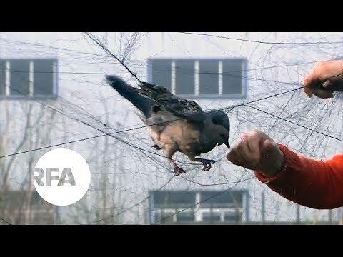 Poachers Kill Migrating Birds In China | Radio Free Asia (RFA)