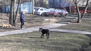 Дрессировка щенка кане корсо http://dogclass.ru/