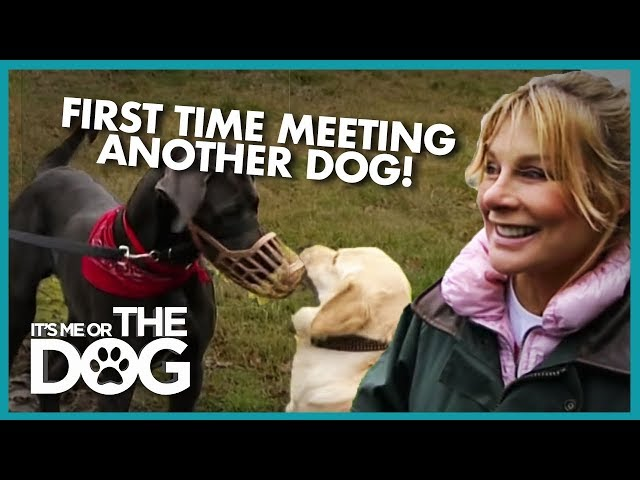 Great Dane Meets Another Dog For the First Time | Its Me or the Dog