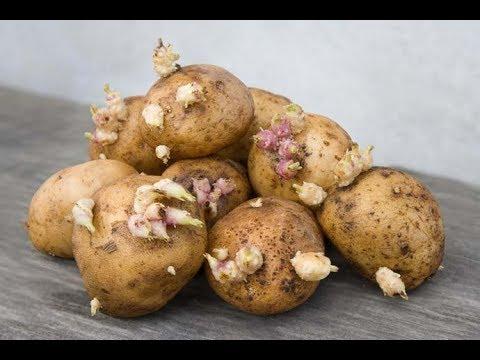 ★4 главных правила хранения картошки в квартире, чтобы она не портилась. Если у тебя нет погреба